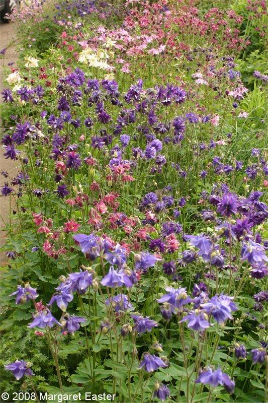 Thymus 1 Front Garden Aquilegia Vulgaris