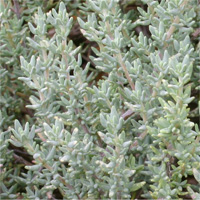 Thymus 'Caborn Fragrant Cloud'