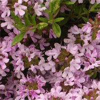 Thymus 'Caborn Pink Beauty'