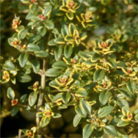 Thymus 'Golden King'