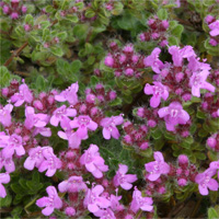 Thymus 'Mountain Select'