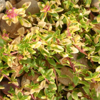 Thymus serpyllum 'Goldstream'